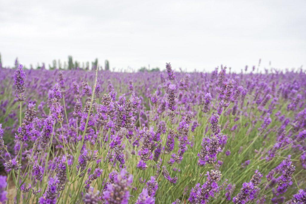 campo di lavanda in fioritura