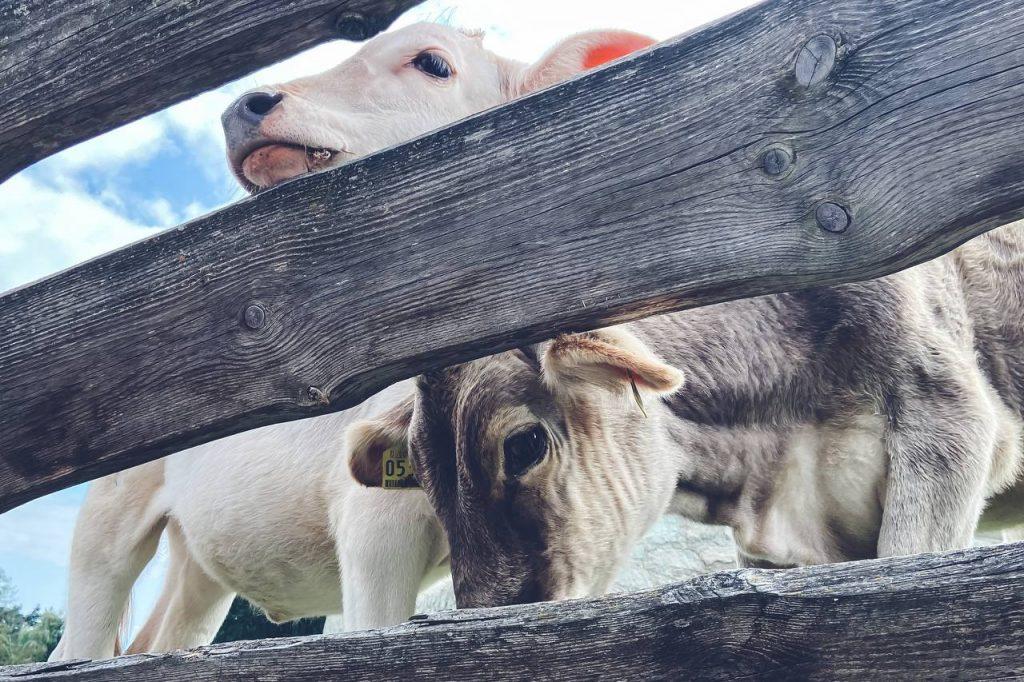 primo piano di due vitelli